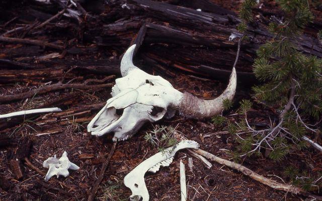 Bison skull Picture