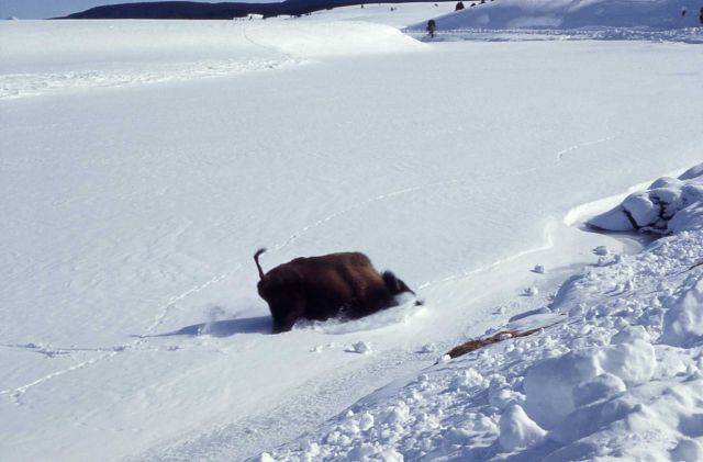 Bison on ice which gives way Picture