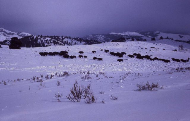 Bison herd in snow on a dark winter day Picture