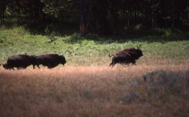 Bison running Picture