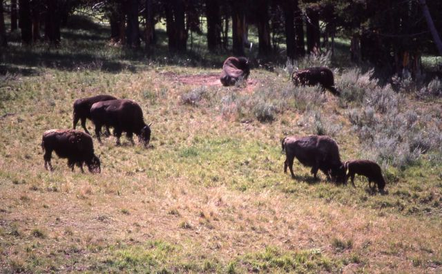 Small group of bison Picture