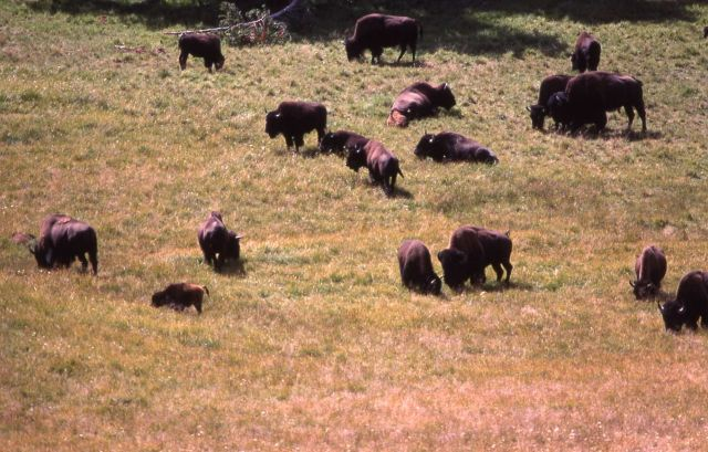 Bison herd in meadow Picture