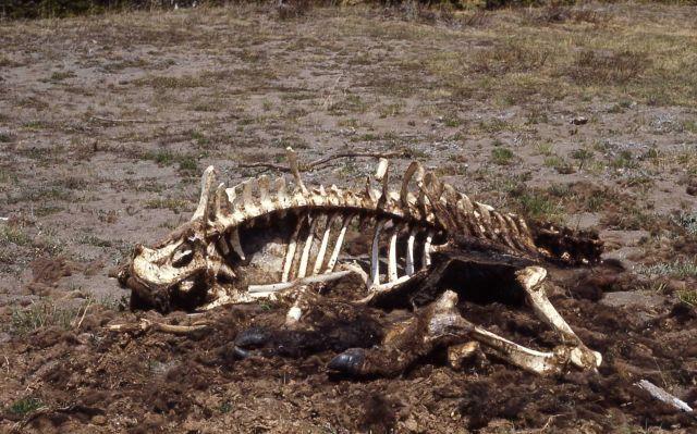 Bison skeleton Picture