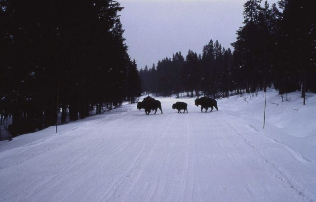 Bison crossing snow covered road Picture