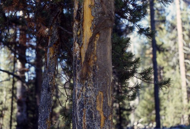 Bison rubbed tree Picture