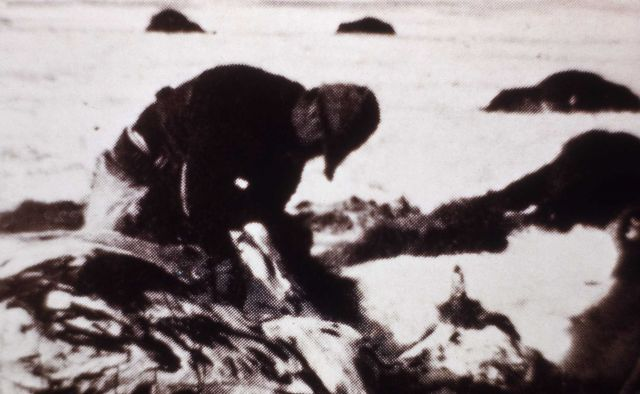 Copy of photo of man skinning out a buffalo Picture
