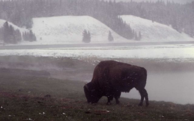 Bison near Mary Bay Picture