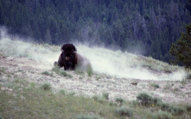 Bison wallowing Picture