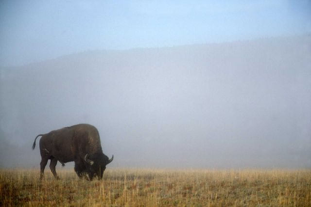 Bison in mist Picture
