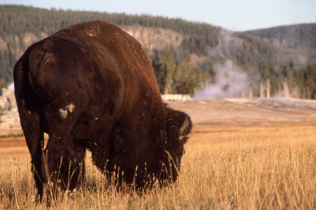 Bison in Upper Geyser Basin Picture