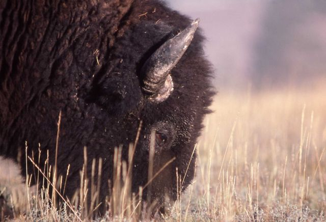 Close up of bison grazing Picture