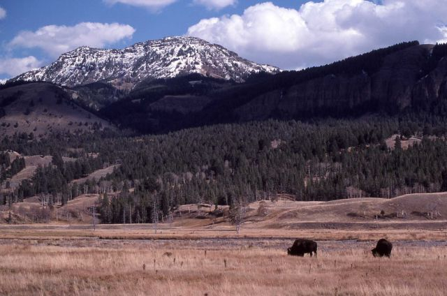 Bison & Mt Norris Picture