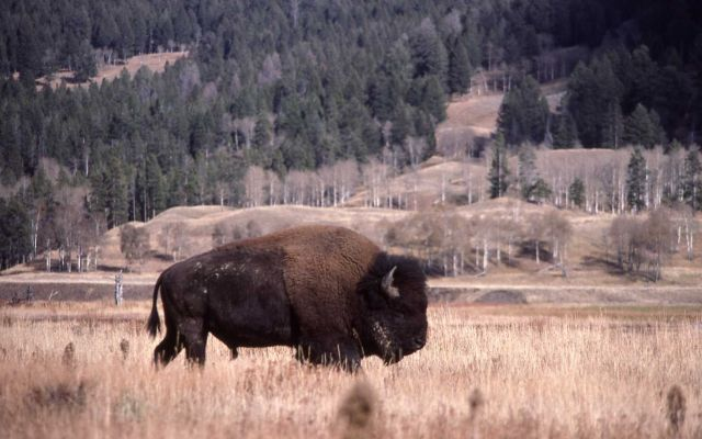 Bison near Soda Butte Picture