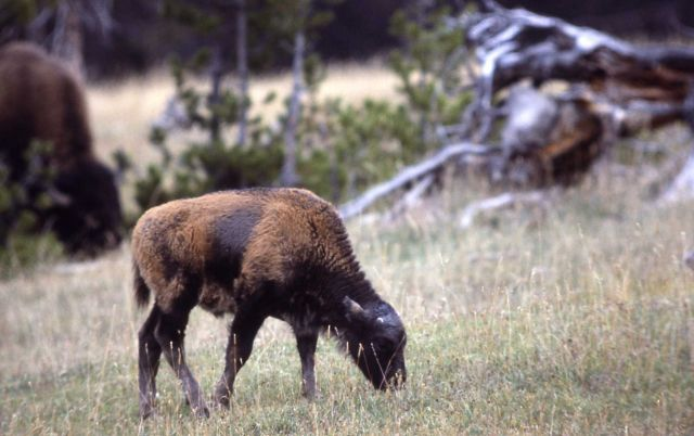 Late bison calf Picture