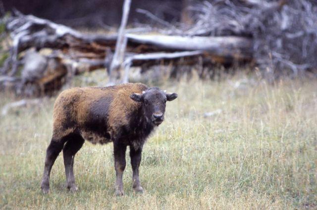 Late bison calf Picture