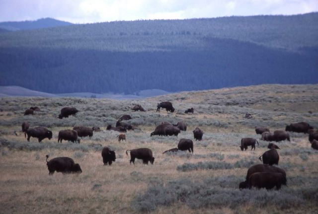 Close up of bison herd in Hayden Valley Picture