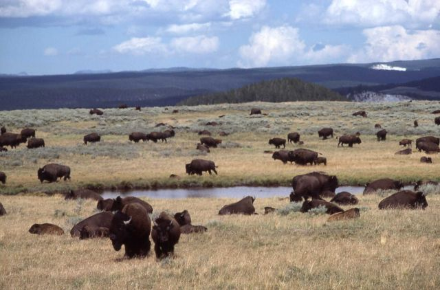 Bison herd wallowing in Hayden Valley Picture