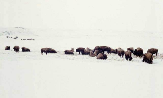 Bison in snowstorm Picture