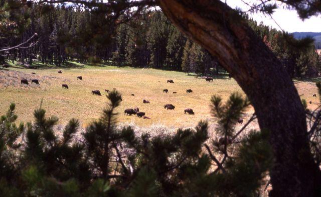 Bison herd in Hayden Valley as seen thru trees Picture