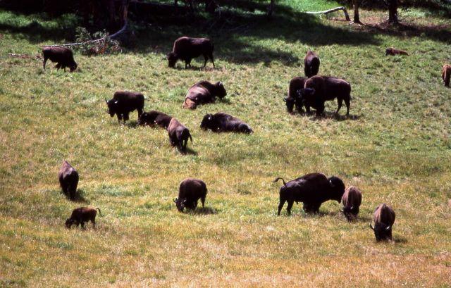 Close up of bison herd in Hayden Valley Picture