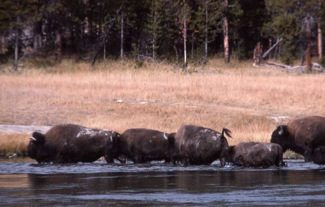 Bison fording river Picture
