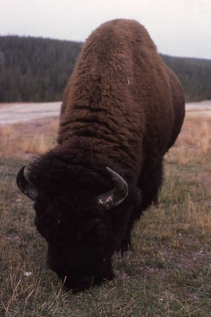 Bison at Old Faithful Picture