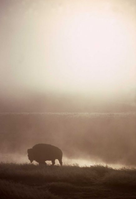 Bison in Yellowstone River fog Picture