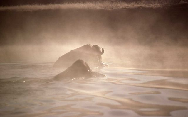Bison fording Yellowstone River Picture