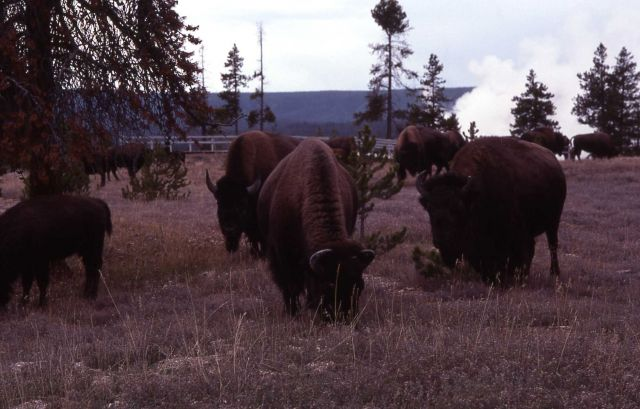 Bison at Fountain Paint Pots Picture