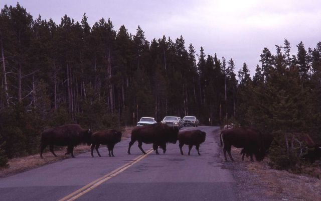 Bison at Fountain Paint Pots road Picture