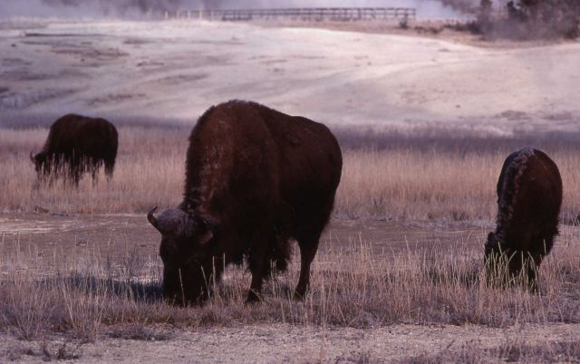 Bison at Biscuit Basin Picture