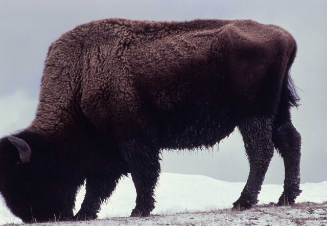 Lone bison in snow Picture