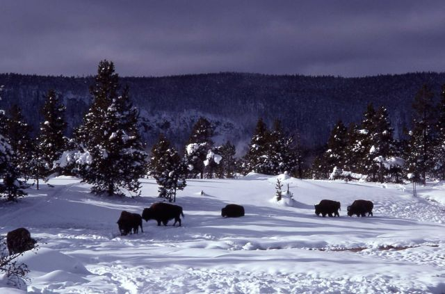 Bison in Upper Geyser Basin Picture