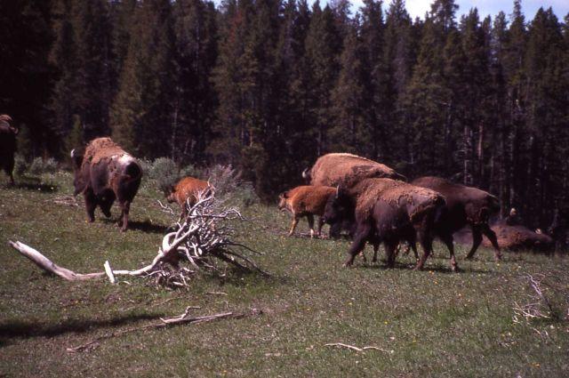 Bison herd in Hayden Valley Picture