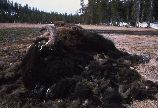 Bison carcass Picture