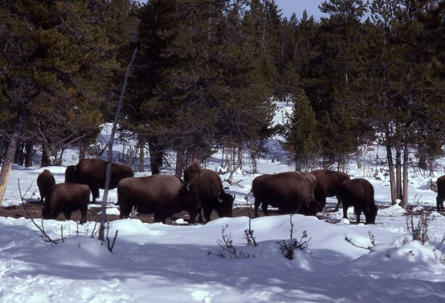 Bison in snow Picture