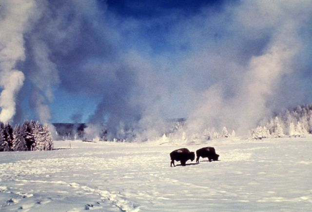 Bison in winter at Old Faithful Picture