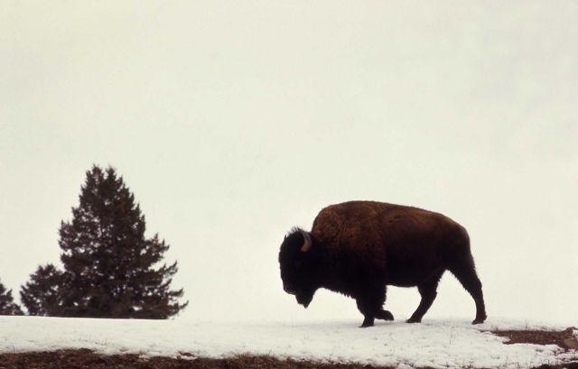 Side profile of bison in snow Picture