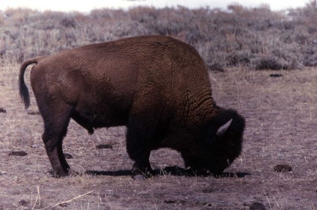 Bison at Mary Bay Picture