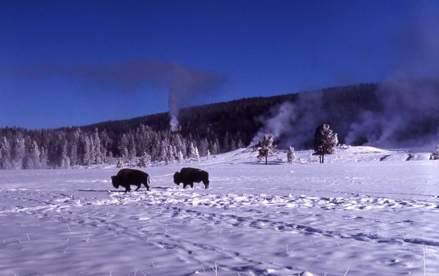 Bison at Old Faithful in snow Picture
