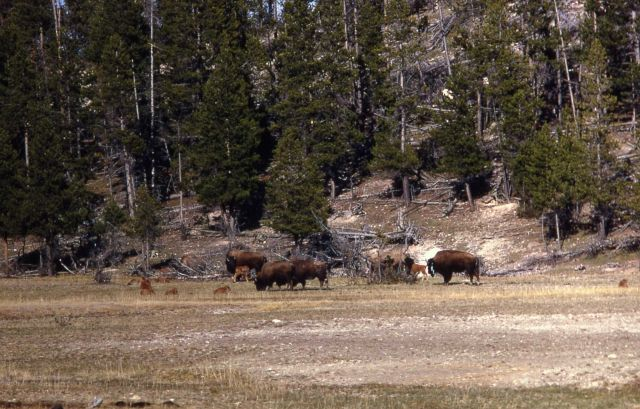 Bison with calves Picture