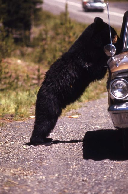 Black bear leaning against a car Picture