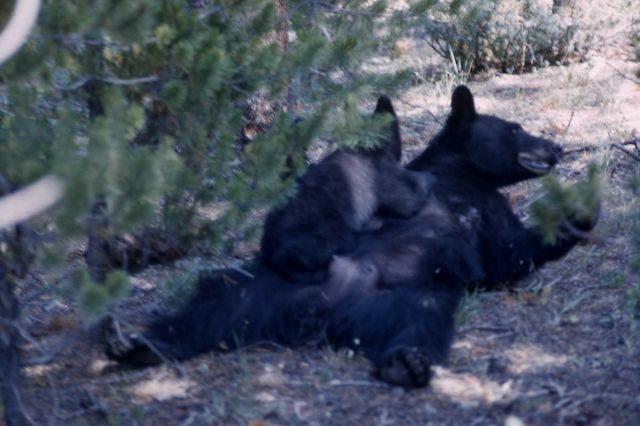 Black bear nursing Picture
