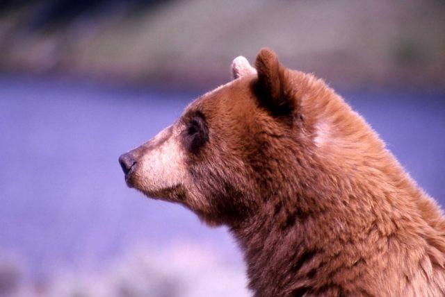 Black bear at Phantom Lake Picture
