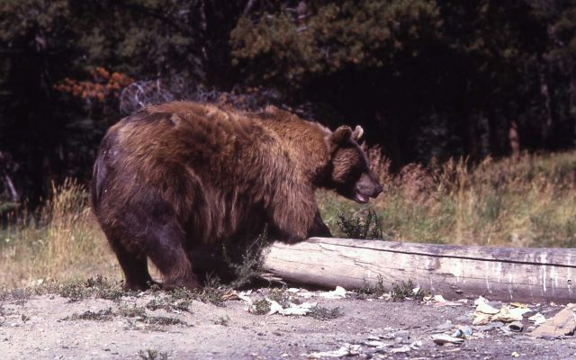Black bear rolling a log Picture