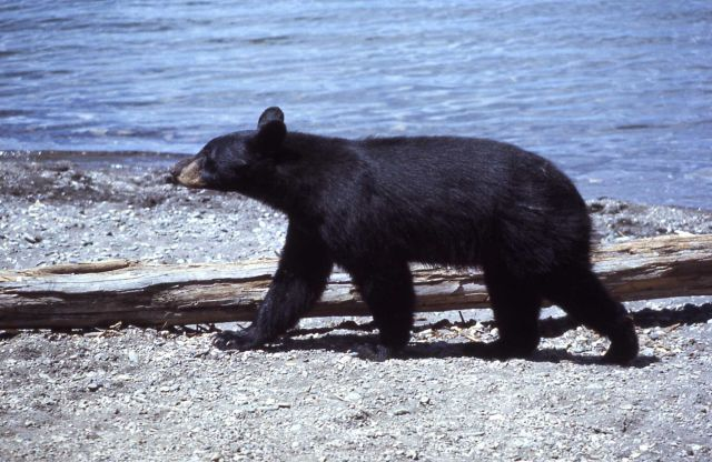 Black bear walking near lake Picture