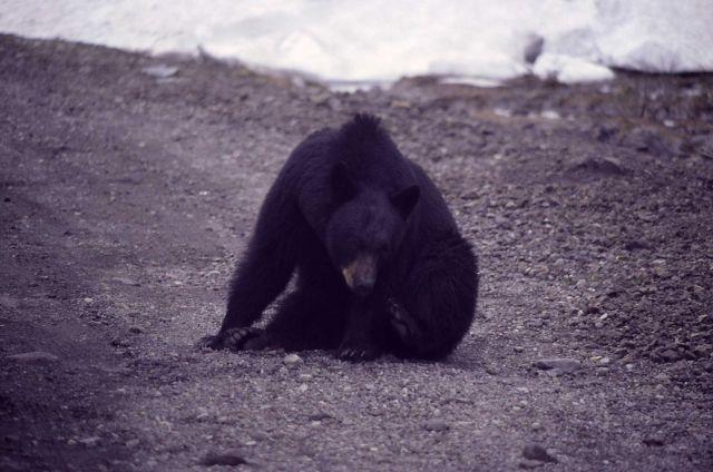 Black bear on shoulder of road Picture