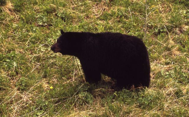 Black bear in grass Picture