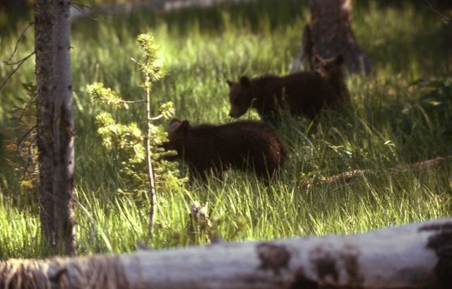 Two black bear cubs Picture