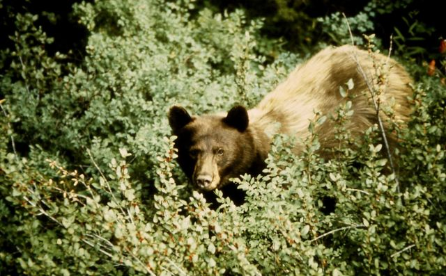 Black bear in brush Picture